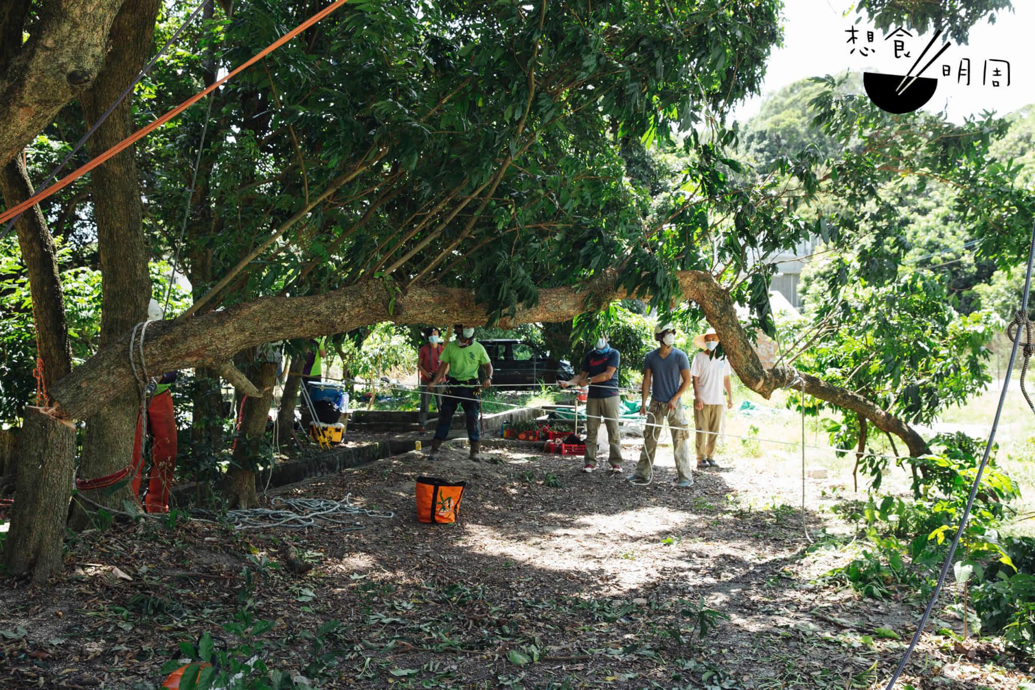 砍樹的方法有好多種。都市樹人多車多, 多半需要吊車從上而下砍件。在郊外若有 空地,就可以在地上配合如像繩網陣的溜纜系統,以人手操作鏈鋸開出open faced開口,把樹緩緩砍落,有尊 嚴地落在塵土。
