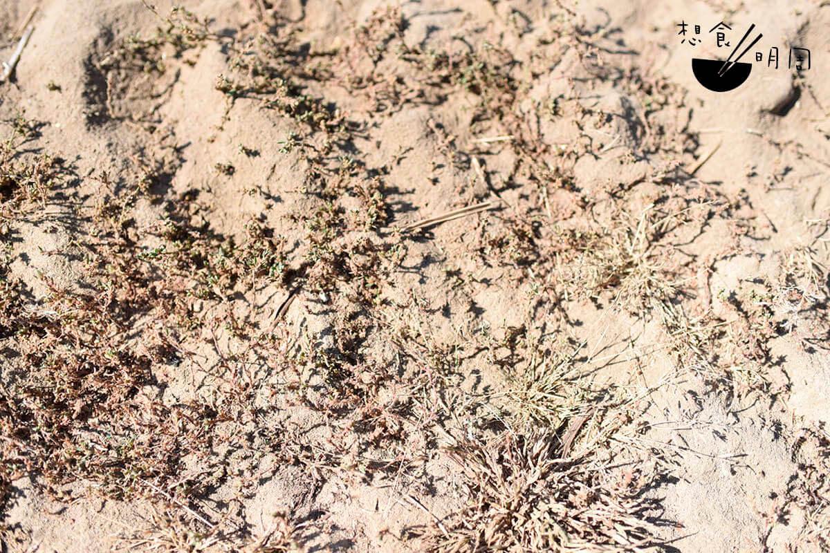 不是每種土質都適合西洋參的生長,像這樣乾旱的沙質土壤才能種出一枝枝的靚參。