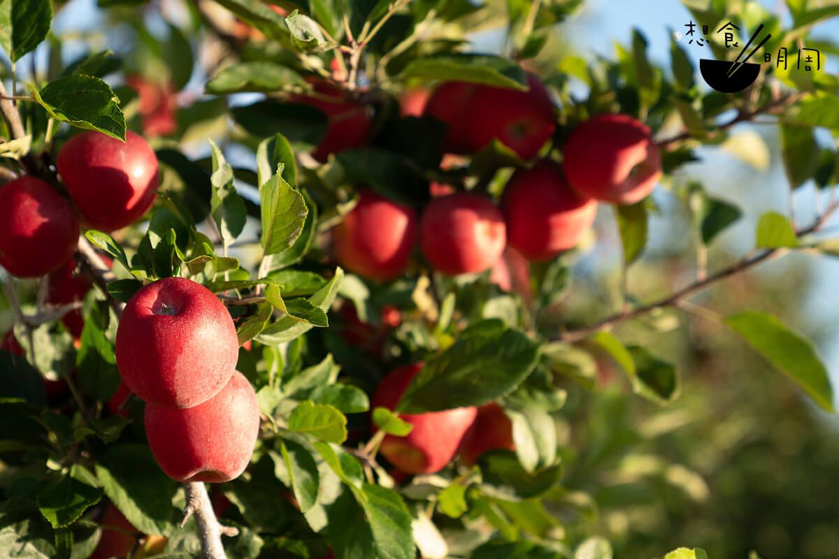 產自新西蘭的Rockit蘋果是研究機構花上多年時間種植出來的。