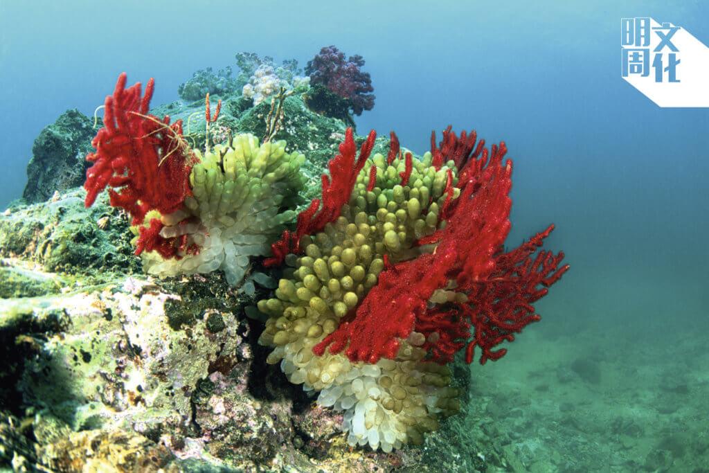 圖中珊瑚色彩繽紛,但因全球暖化,拍照後不出三年,現場珊瑚已經不知所終。