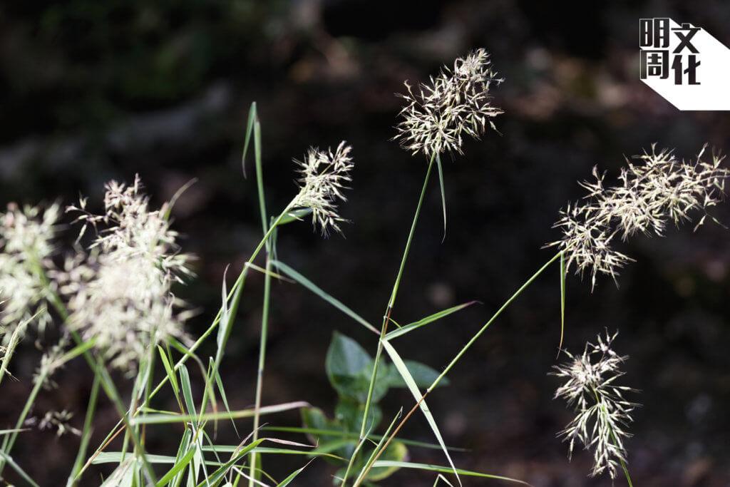 留意腳邊,隨風飄出白絮的植物。