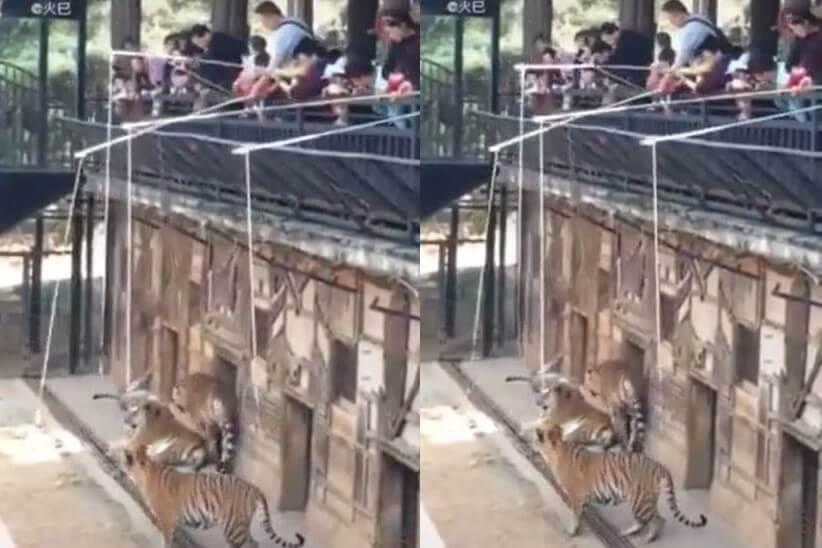 昆明一間動物園中,市民「釣獅子」。