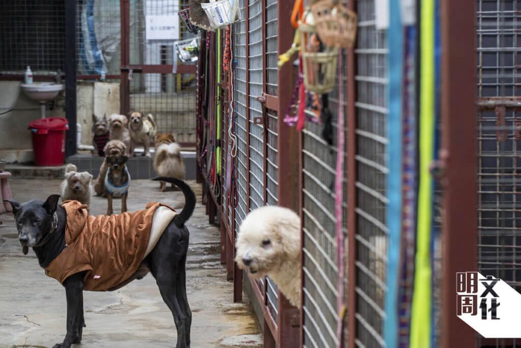 阿棍屋中不乏體形較小的名種犬,牠們都在年紀變大,身體出現毛病後被主人棄於街頭。