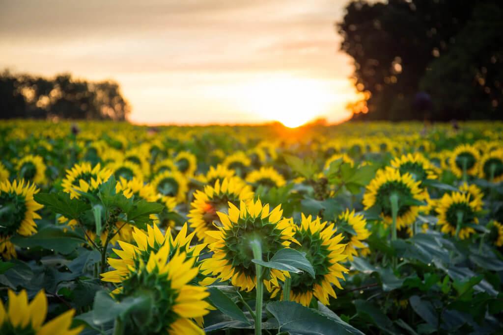 大片亮黃色的向日葵田,是翁布里亞著名的田野風光。