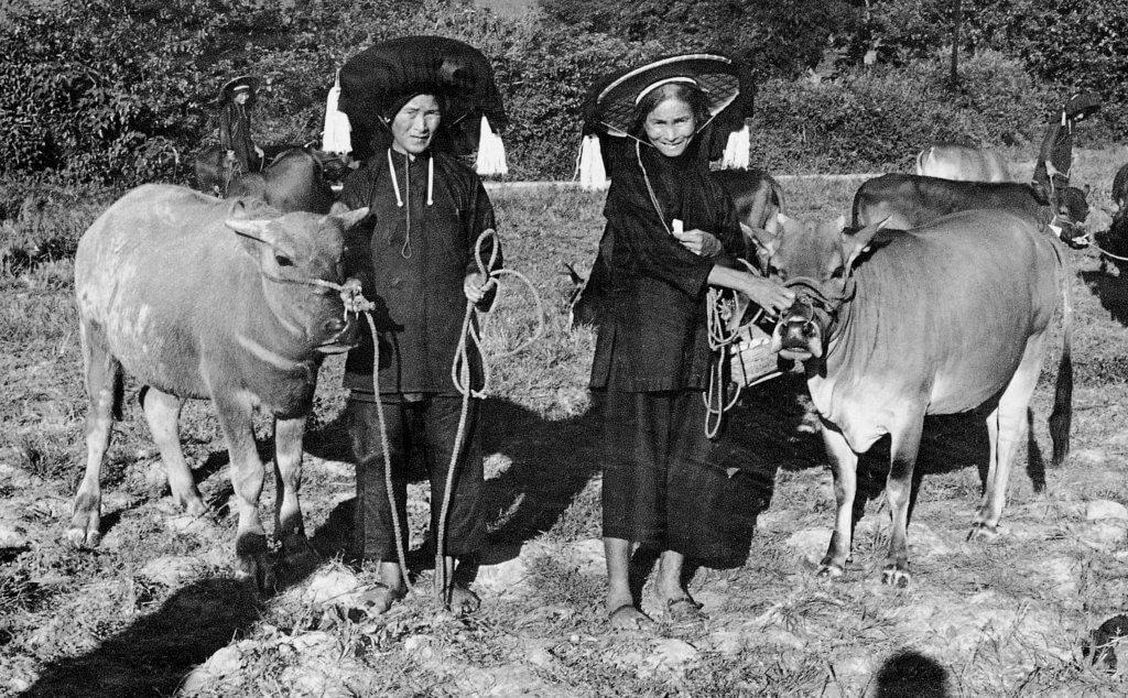 上世紀五六十年代,嘉道理農業輔助會共送三千三百六十七頭牛給香港村民,圖為兩名沙頭角寡婦獲贈耕牛。