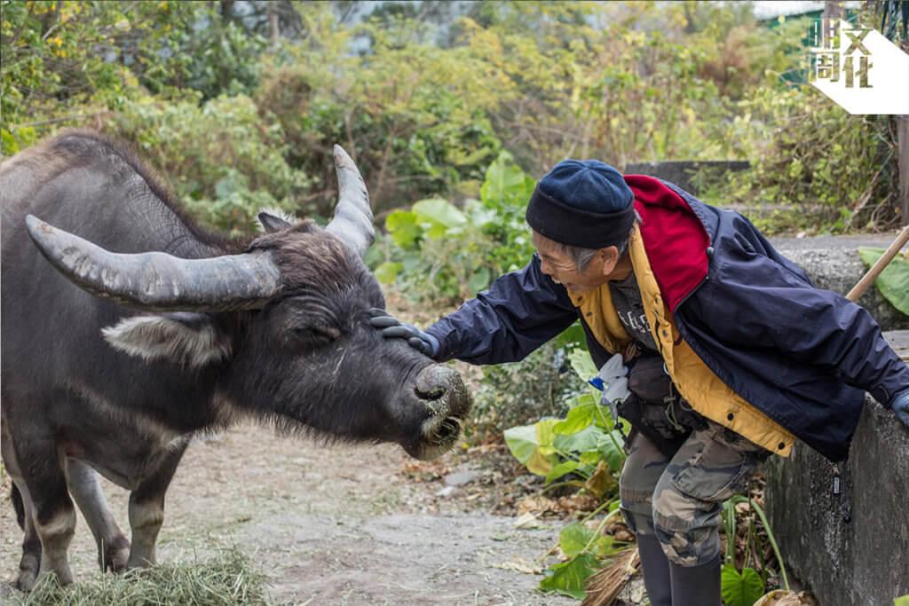 她視「牛牛」為己出,每天相約於老圍村親自餵食,不見不散。