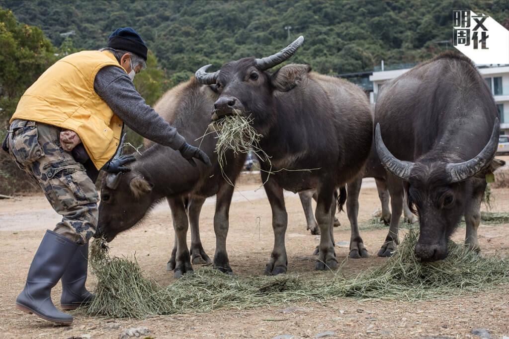 原本只專注於一頭牛,後來照顧全島牛羣。