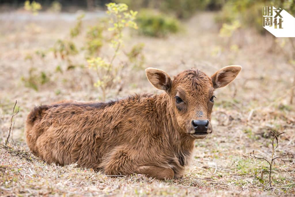 初出生的小牛,掛着一雙黑眼圈。