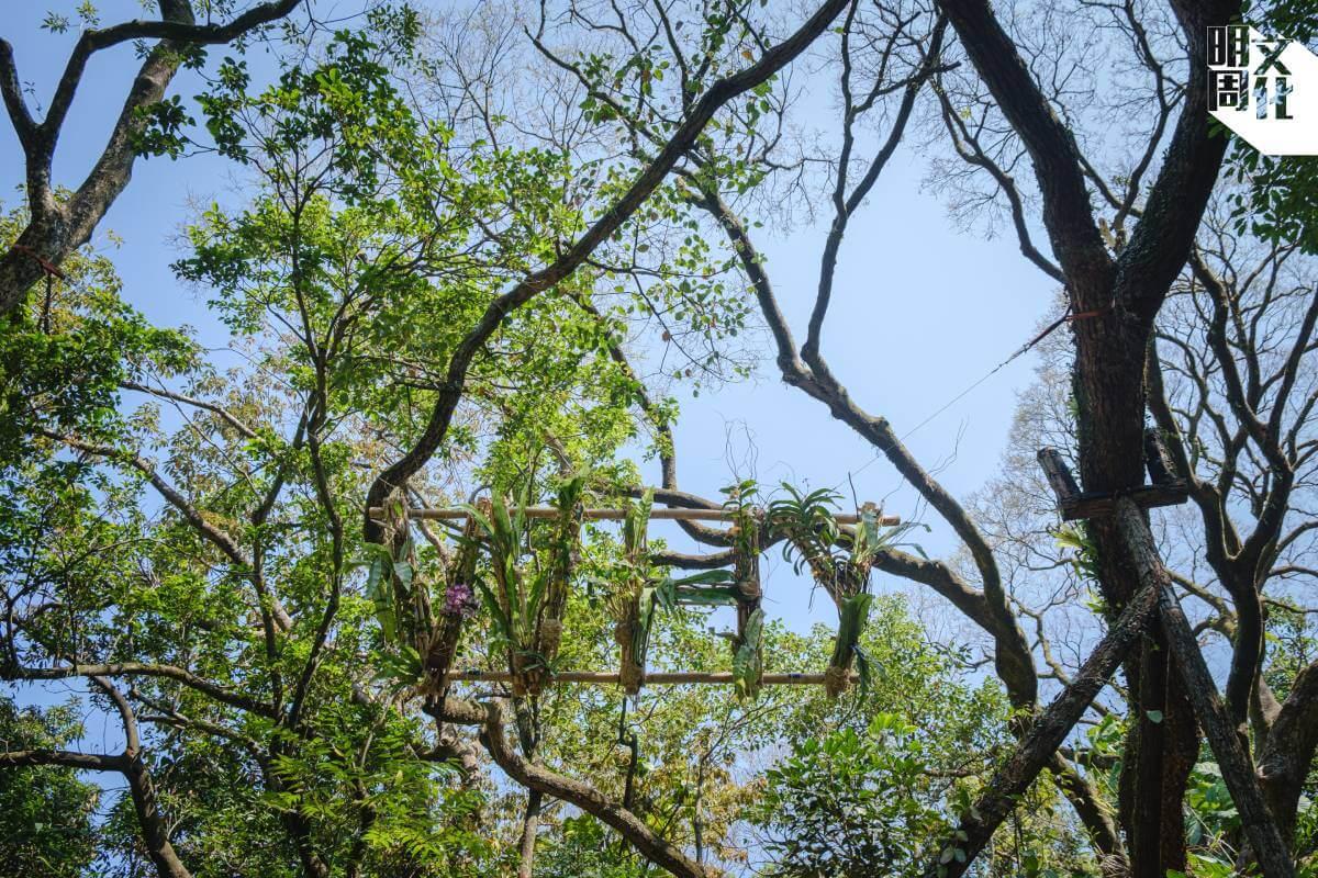 嘉道理農場的職員負責把裝置掛上,確保對樹木不會造成損害。