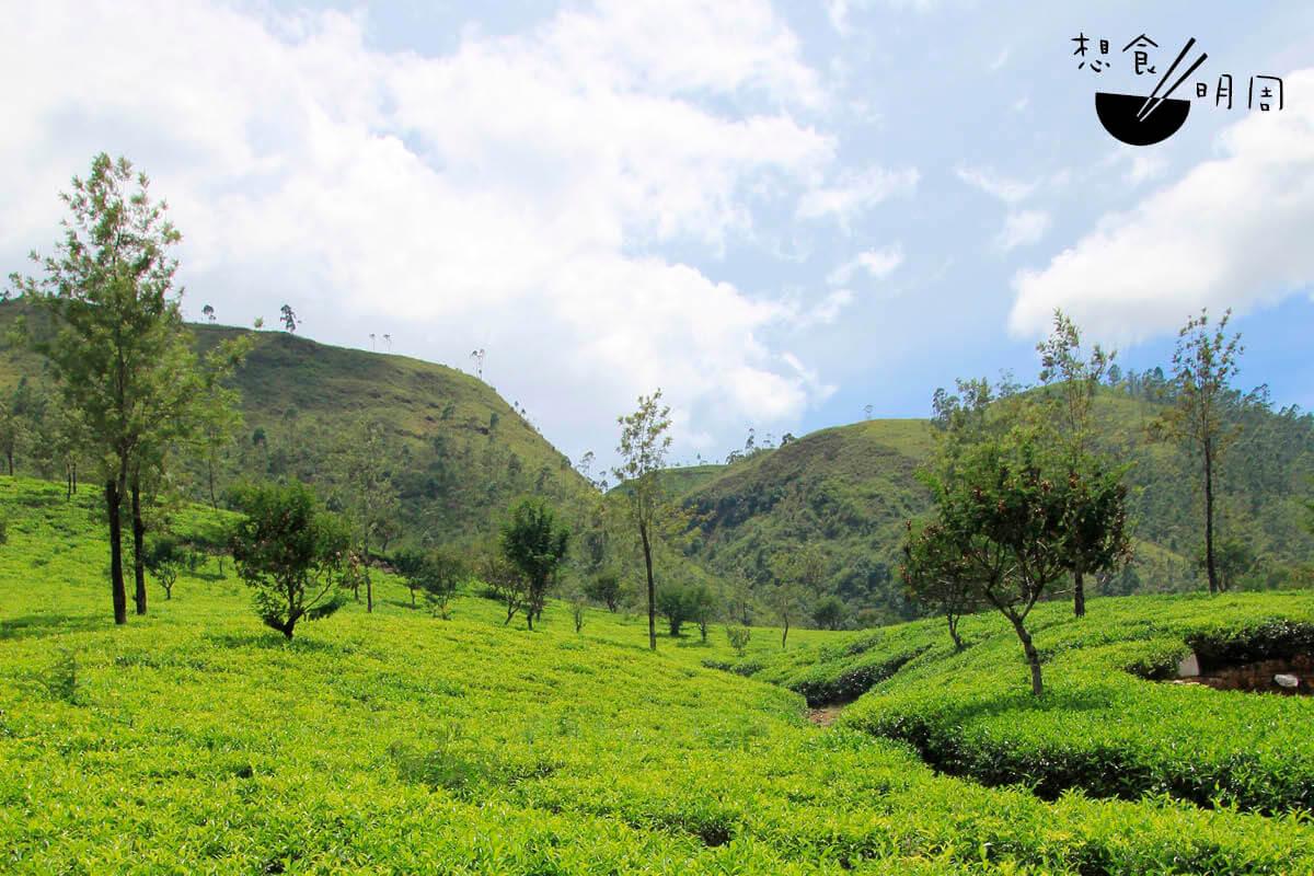 斯里蘭卡共有七大茶葉產區,所產錫蘭紅茶風格分明。圖為瓦拉艾利亞(Nuwara Eliya),是該國海拔最高、首屈一知的茶區。(照片由陳穆儀提供)