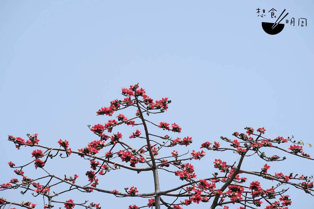 木棉花樹不獨見於香港,更四散亞洲各地,包括台灣、泰國、緬甸、馬來西亞、中國雲南等。