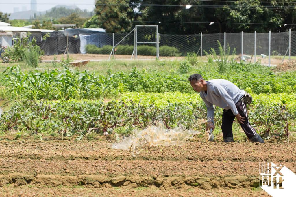 文哥的農田是從雙魚河引進河水,他在水坑田間為農作物澆水,保持泥土的濕潤。