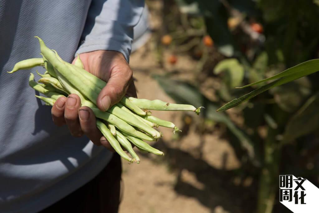 夏天將至,是種瓜豆的季節,文哥會按時令耕種不同作物。