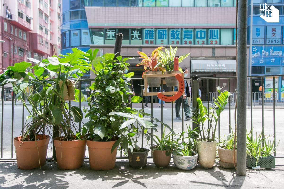 盈新電訊的店主林小姐在店外欄杆種了茂盛的植物,更於每盆盆栽放一株吊蘭的苗,等它長大後便會自然垂下。