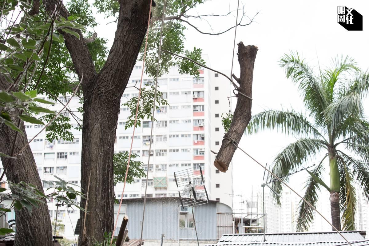 鋸斷樹枝前要先將之用繩索固定好,再慢慢吊落地面。
