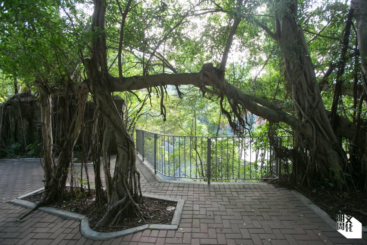 堅尼地道可見到不少奇特的樹木形態和植物