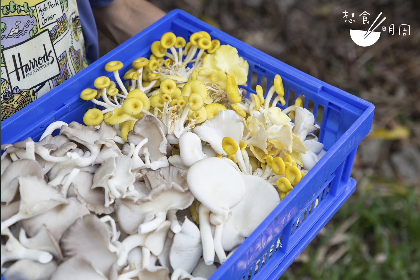 「香城遺菇」以出產蠔菇為主,因為它們易養、「不挑食」!