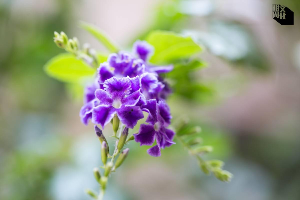春夏間,他家門外的植物爭相開花。