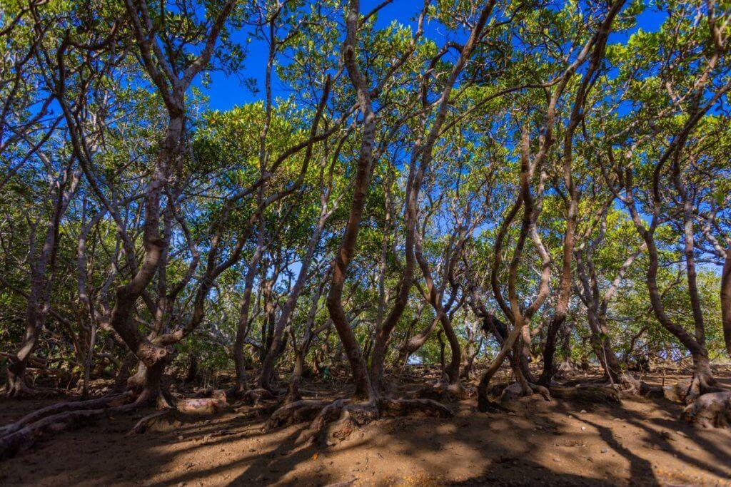 荔枝窩村前的紅樹林