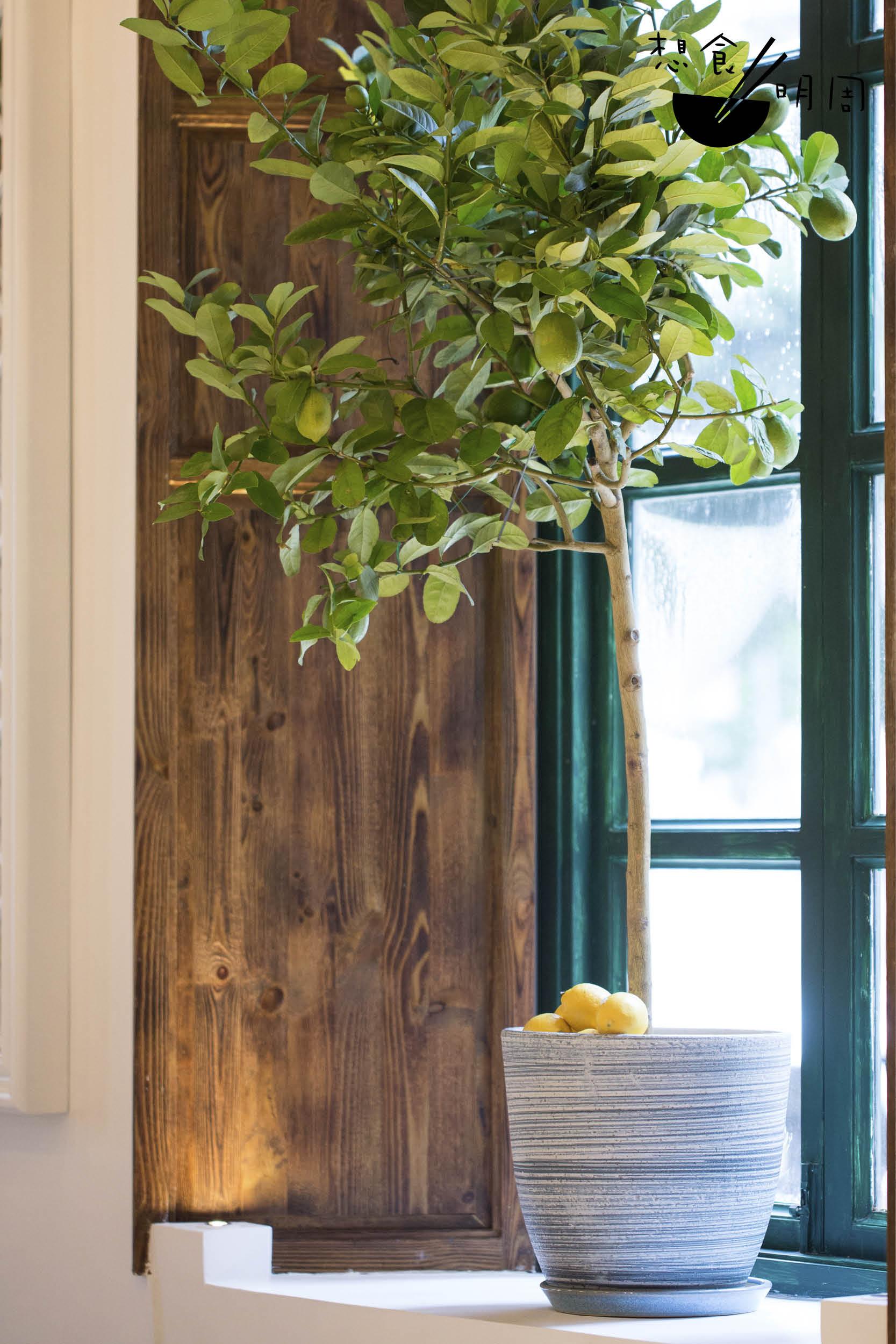 用餐區的窗台上放了兩棵檸檬樹,樹上吊着青果與漸轉成熟的黃檸檬,細問才知道竟然是從意大利直飛到港的阿瑪菲檸檬樹。能否茁壯成長?Sergio也笑說不太肯定,但其思念故鄉果物之心,從中可見。