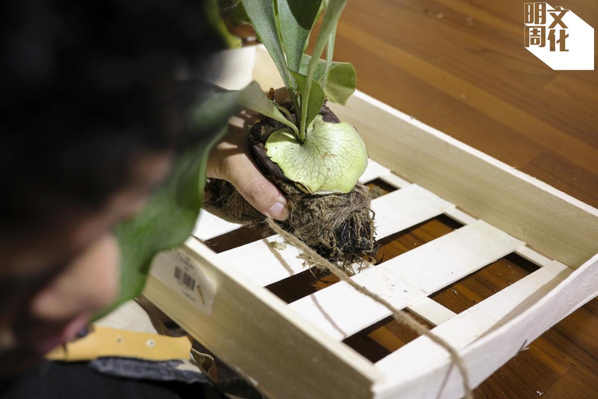 這是KK以二手木箱製造的鹿角芒擺設,他把植物以水苔包着,再放上木板掛起。