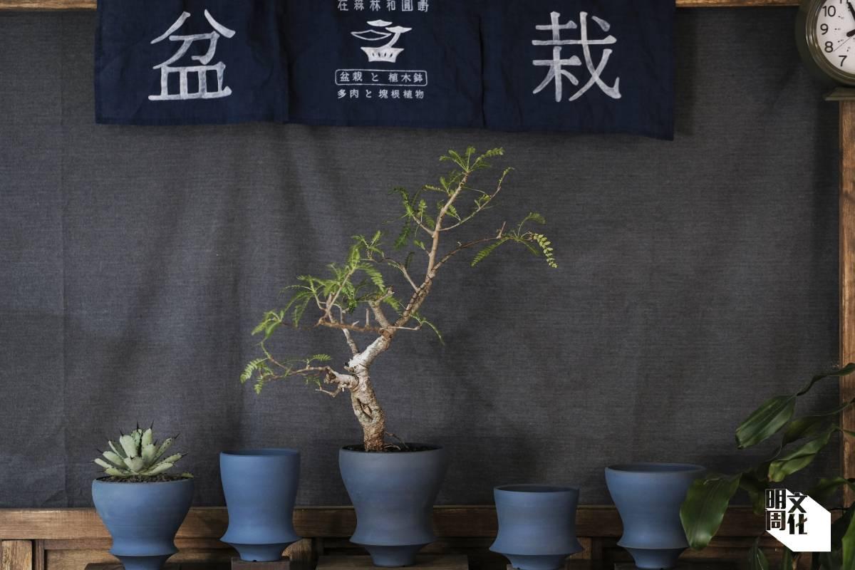 JE和Yann會嘗試以盆景方式種植非傳統的植物,如圖中的乳香木。