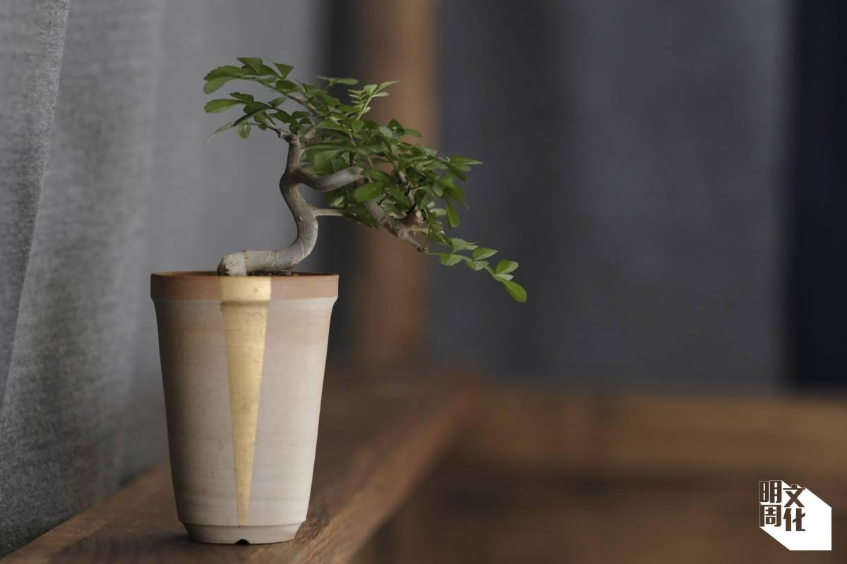 對節白蠟的植木缽是本地陶瓷創作人Ivan的作品,上面的金線把焦點引導到植物身上。