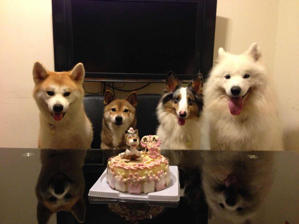狗狗們好聽話,齊齊食生日蛋糕。