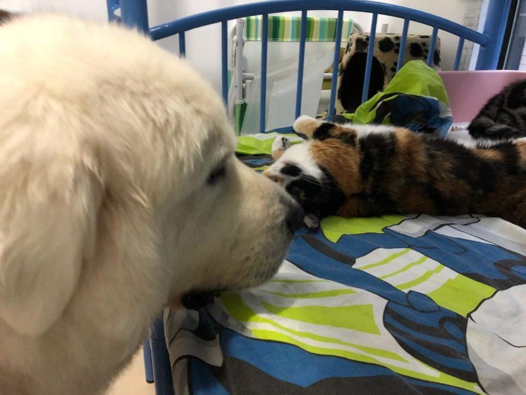 大白熊犬Mimi體形最龐大,但性格最善良膽小,常常被家中貓狗欺負。