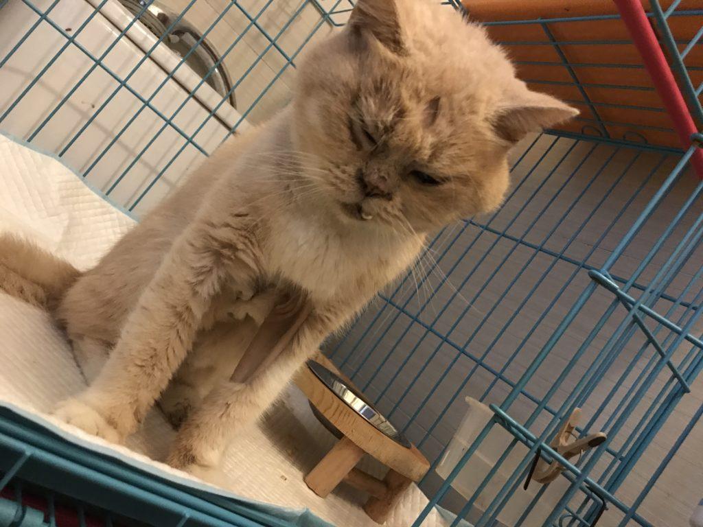 阿強是義工在地盤撿回來的貓,剛回家時身形瘦削,有一隻突出的殭屍牙,額頭亦缺了一撮像彎月形狀的毛,像包青天一樣。