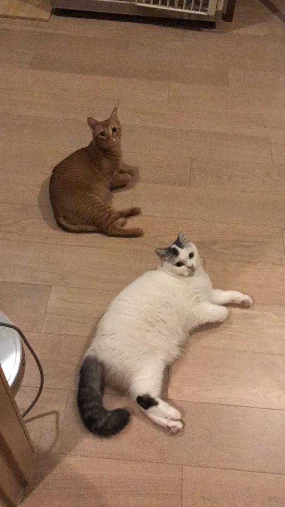 英國短毛貓威廉(下)因為不懂捉老鼠被前主人遺棄,小儀的朋友暫養了短時間,後來再被西瓜收養。