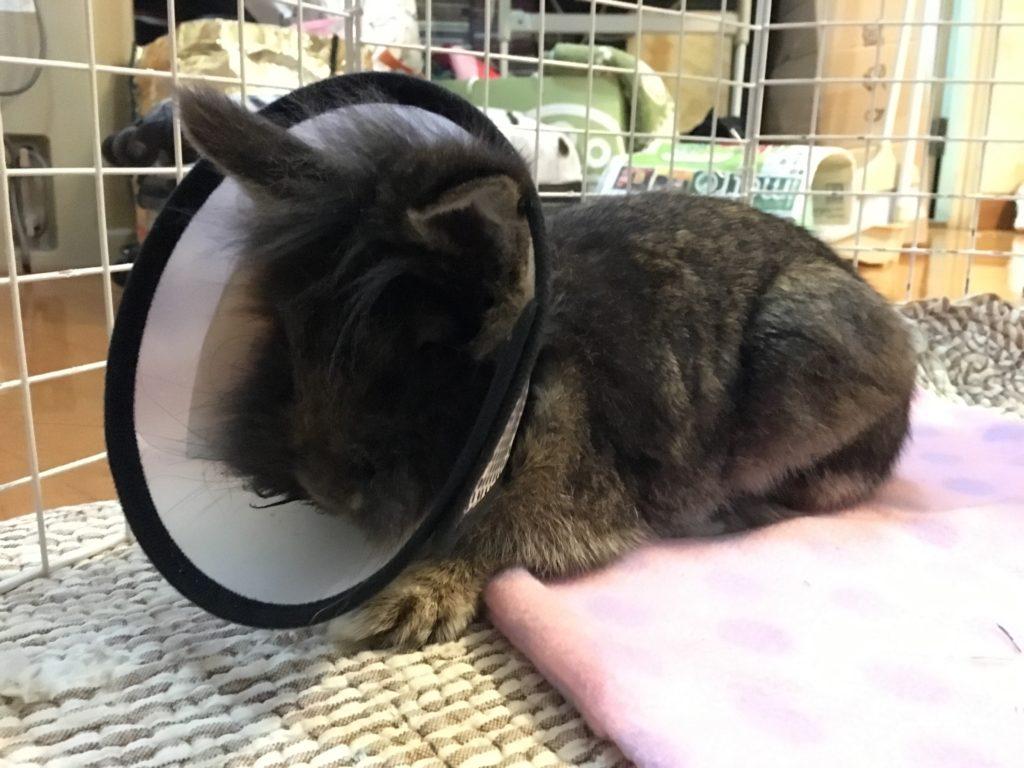做了絕育手術後,牠要戴頭罩一段時間,見牠失落的樣子,也感心痛。