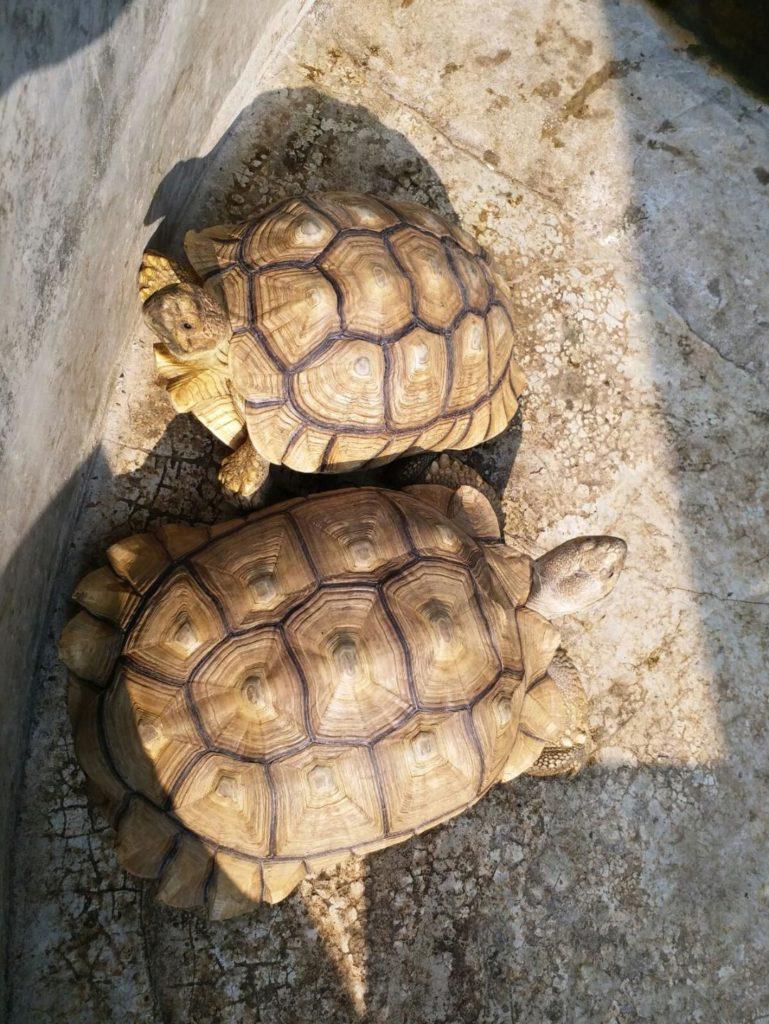 思迦養了兩隻盾臂龜,閒時要帶牠們出外散步,呼吸新鮮空氣。