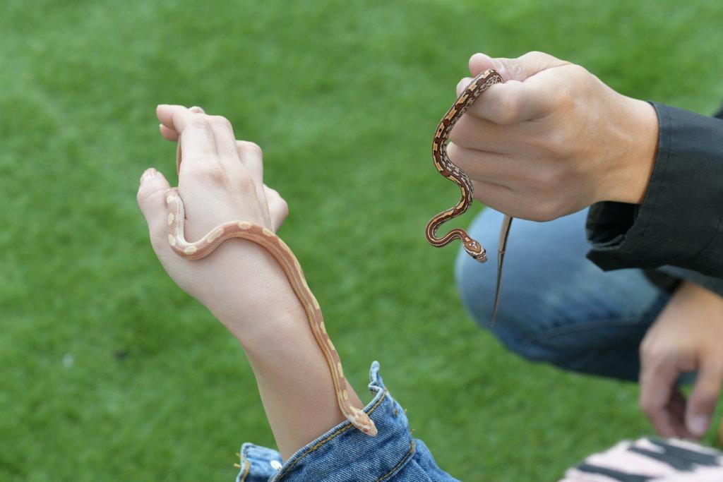 蛇屬於沒有情感動物,平日不用陪伴,間中會讓牠們在手上走走。