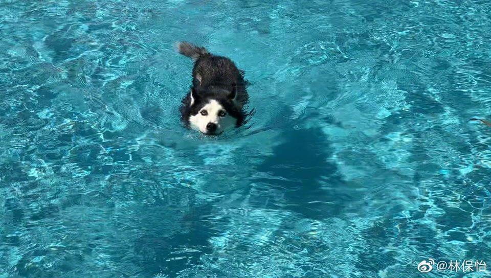 林保怡所養的雪橇犬阿水已經十四歲,阿水曾經歷大病做手術,一向視愛犬如家人的他,每天帶阿水外出散步五次,更會一起去游水。