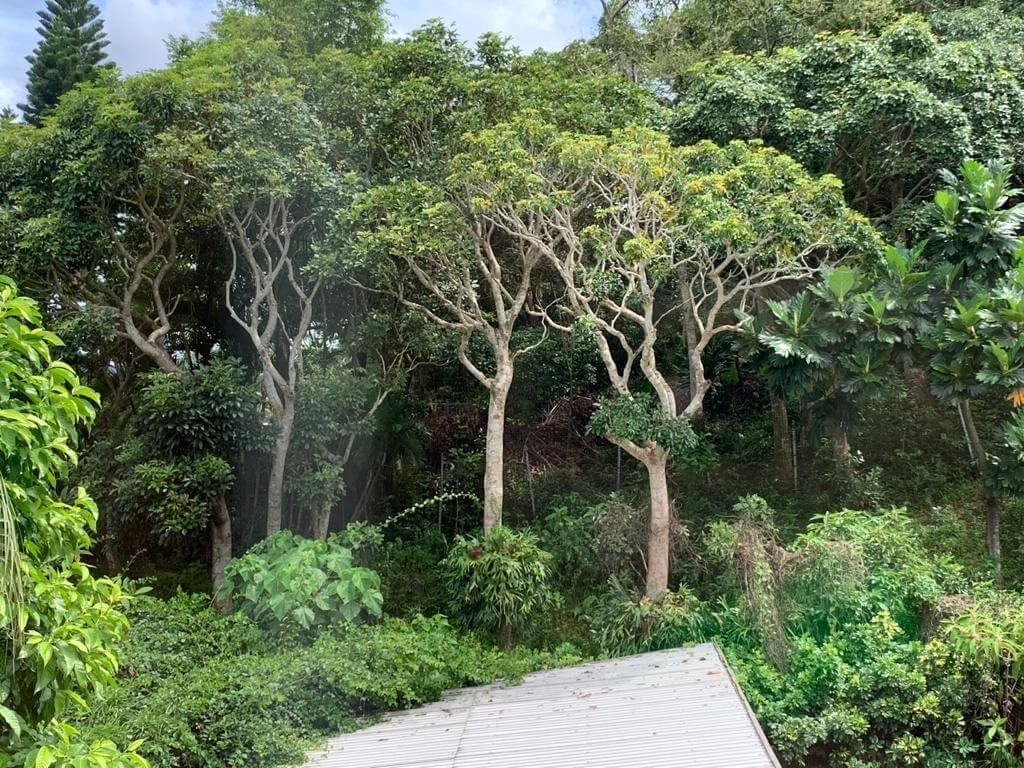 盧冠廷家中的花園種植了不少有機蔬果,有南瓜、番茄、莧菜、芒果、士多啤梨及薑黃等,品種豐富。