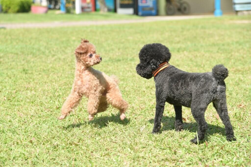 Bilu在狗公園會跟其他狗玩耍,玩得投入的牠露出搞笑表情。